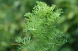 Artemisia Abyssinica_BotanicaEethiopia2011
