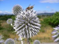 Echinops Kebericho. Image: wikispecies