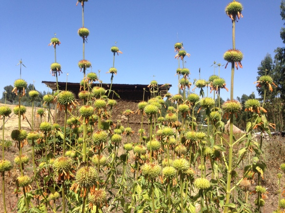 Herbs | Botanica Ethiopia